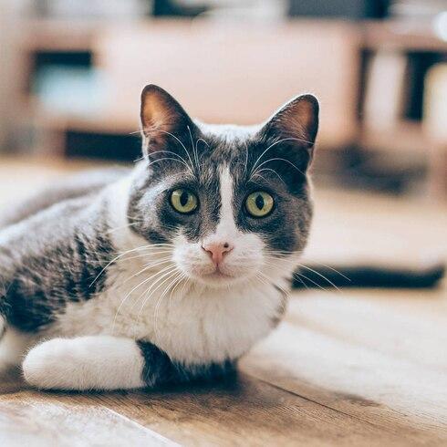 Qué considerar al adoptar un gato