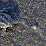Tortugas marinas siguen amenazadas por el saqueo de sus huevos