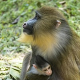 Nace bebé mandril en parque Animal Kingdom de Disney