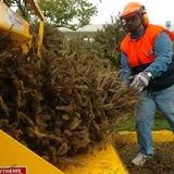 Humacao reciclará árboles de Navidad