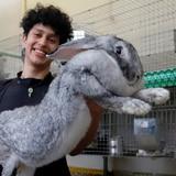 Así son los conejos gigantes creados genéticamente por un estudiante en México