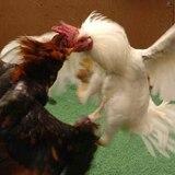 Piden al Congreso que no prohiba las peleas de gallos