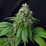 Comienza la venta de marihuana recreacional en Arizona