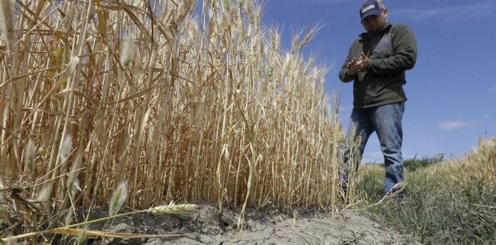 Este agricultor observa su cosecha en California, que ha enfrentado la peor sequía en su historia y aun ellos no han podido acceder fondos de FEMA. (AP)