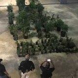 Ocupan 105 plantas de marihuana en una residencia de San Juan