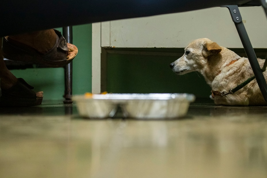 Susy, a Sata dog, accompanies her owner in a shelter in Fajardo.