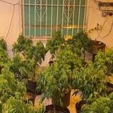 Allanan invernadero de marihuana en residencia de Guaynabo
