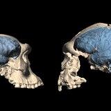 Nuestro cerebro evolucionó en África hace unos 1.7 millones de años