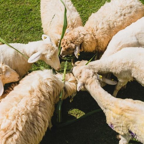 Mira cómo 500,000 ovejas se salvaron del matadero