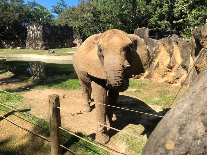 La elefanta Mundi en el zoológico de Mayagüez.