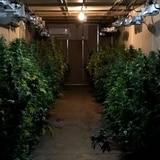 Ocupan invernadero con marihuana valorada en $100,000 en Barrio Obrero
