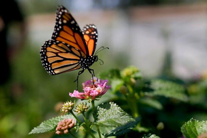 Mariposa monarca fotografiada en Vista, California, en agosto de 2015.
