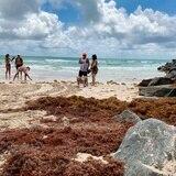 El sargazo que está llegando al Caribe tiene exceso de nitrógeno