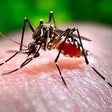 Usan mosquitos modificados genéticamente contra enfermedades en Florida