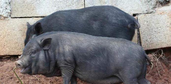 """Estos cerdos avistados en Cantera, según las observaciones de diversos especialistas, son animales """"realengos"""" y domesticados, según la funcionaria gubernamental. (Archivo)"""