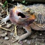 Encuentran un dragón barbudo en Moca