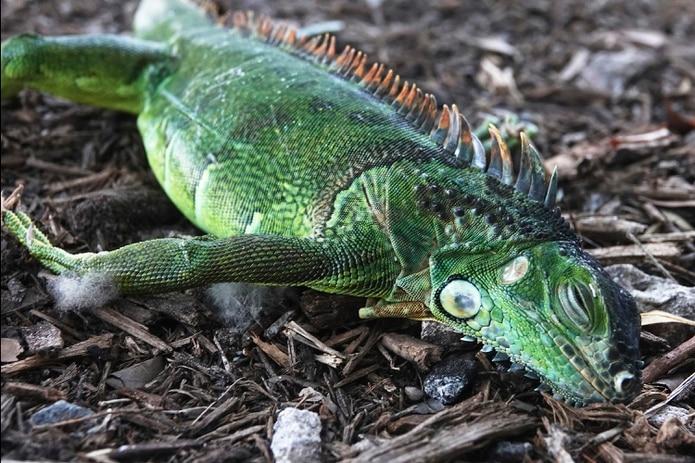 Una iguana aturdida yace en el suelo en el parque Cherry Creek, en Oakland Park, Florida.