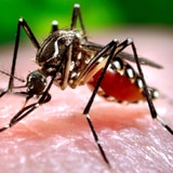 El chikungunya podría extenderse a Estados Unidos