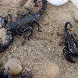 Ocupan especies exóticas venenosas en Hatillo