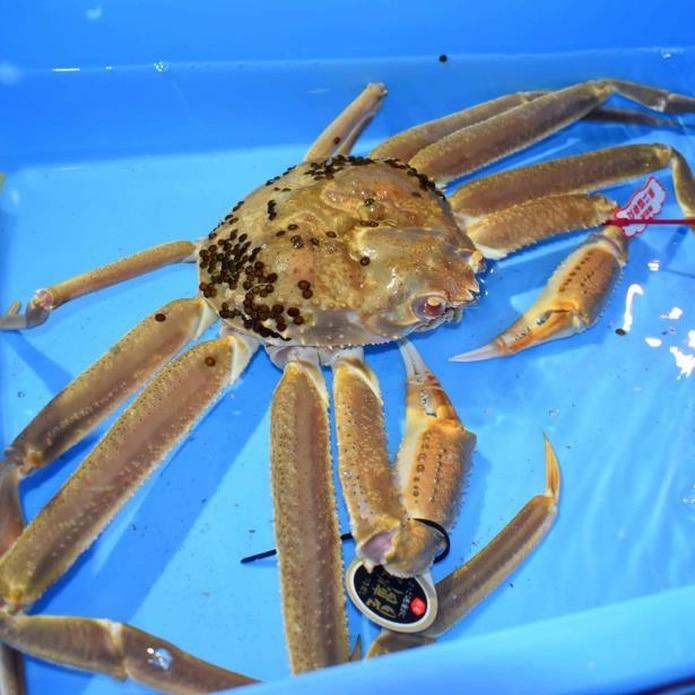 El cangrejo de las nieves es un crustáceo de patas largas y delgadas que se captura principalmente en invierno y destaca por su buen sabor. (EFE)