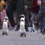 Netflix: pingüinos africanos protagonizan nueva serie
