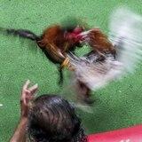 Jenniffer González deja en manos de la gobernadora la prohibición de peleas de gallos