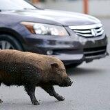Estiman en miles los cerdos vietnamitas en Puerto Rico