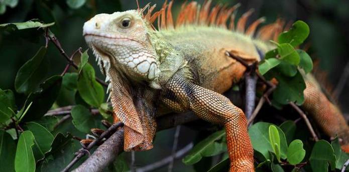 """La """"Gallina de palo"""", una especie que se dice llegó hace varias décadas a Puerto Rico a través del mercado de mascotas, """"ha creado un desbalance ecológico por se ha convertido en depredador. (archivo)"""