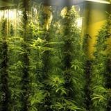 FURA ocupa invernadero con 1,000 plantas de marihuana en Patillas