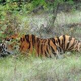 Mueren 86 tigres que habían sido rescatados de templo budista en Tailandia