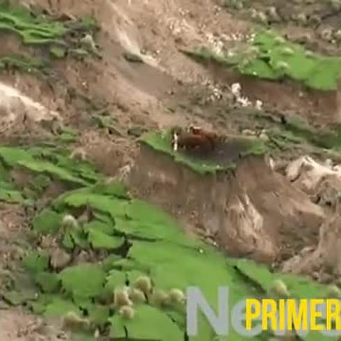 Vacas quedan atrapadas en una lomita tras terremoto en Nueva Zelanda