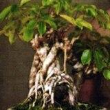Roban bonsái a hombre que lo cuidó durante 56 años