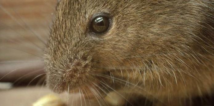 Hay tres formas principales de peste y todas son causadas por la misma bacteria Yersinia pestis, que de forma común se propaga a través de pulgas que se alimentaron de roedores infectados. (Archivo)