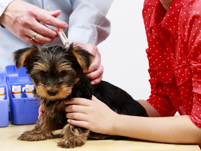 La mejor forma de prevenir este virus es vacunando a la mascota una vez al año.