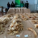 Incautan 3,493 aletas de tiburón en el aeropuerto de Bogotá que iban a China