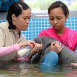Traen a la Isla manatí bebé rescatada en Panamá