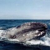 Rusia prohíbe exportación de cetáceos por seis meses