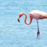Se busca a Pinky, el flamenco de Camuy