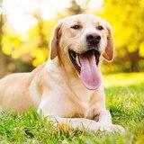 El labrador es el perro favorito en Estados Unidos por 29no año consecutivo