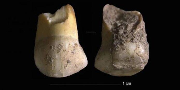 Se trata de un diente de leche canino superior de un niño de 11 o 12 años.