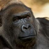 Muere la gorila Vila a los 60 años
