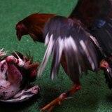 Buscan negociar moratoria de cinco años en la prohibición federal de las peleas de gallo