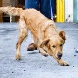 Salvan 20 perros golden retriever que serían sacrificados para carne en China