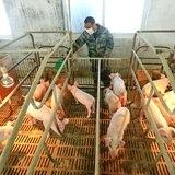 Alertan a boricuas que viajan a República Dominicana a no traer productos de cerdo
