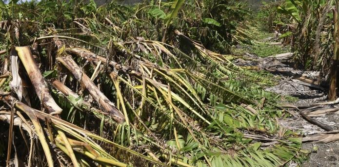 Todas las cosechas puertorriqueñas son elegibles para el programa, ya que la isla en su totalidad fue declarada una zona de desastre por proclama presidencial. (Archivo)
