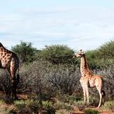 Documentan por primera vez dos jirafas enanas