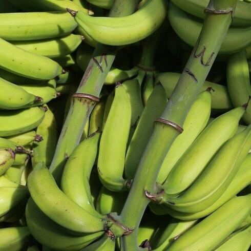 Lo que debes saber del hongo que mata a los plátanos y guineos