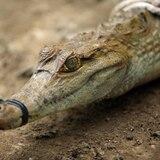 En busca del caimán del Apaporis