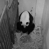 Celebran nacimiento de panda gigante en Washington