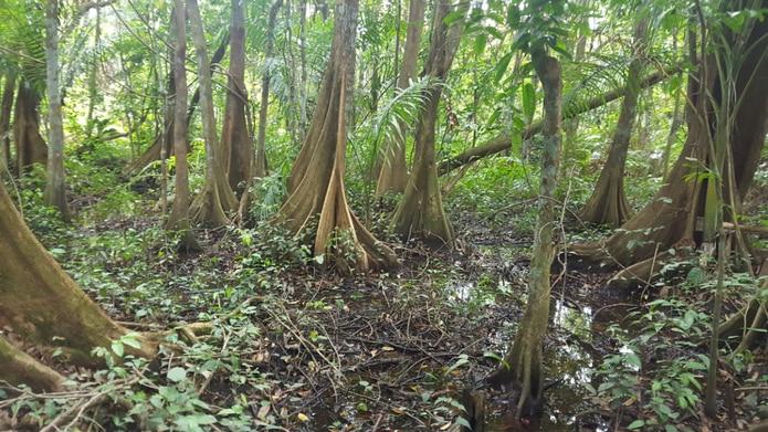 Bosque de Pterocarpusen Palmas del Mar en Humacao.